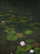 Lilies in Giverny-after the rain